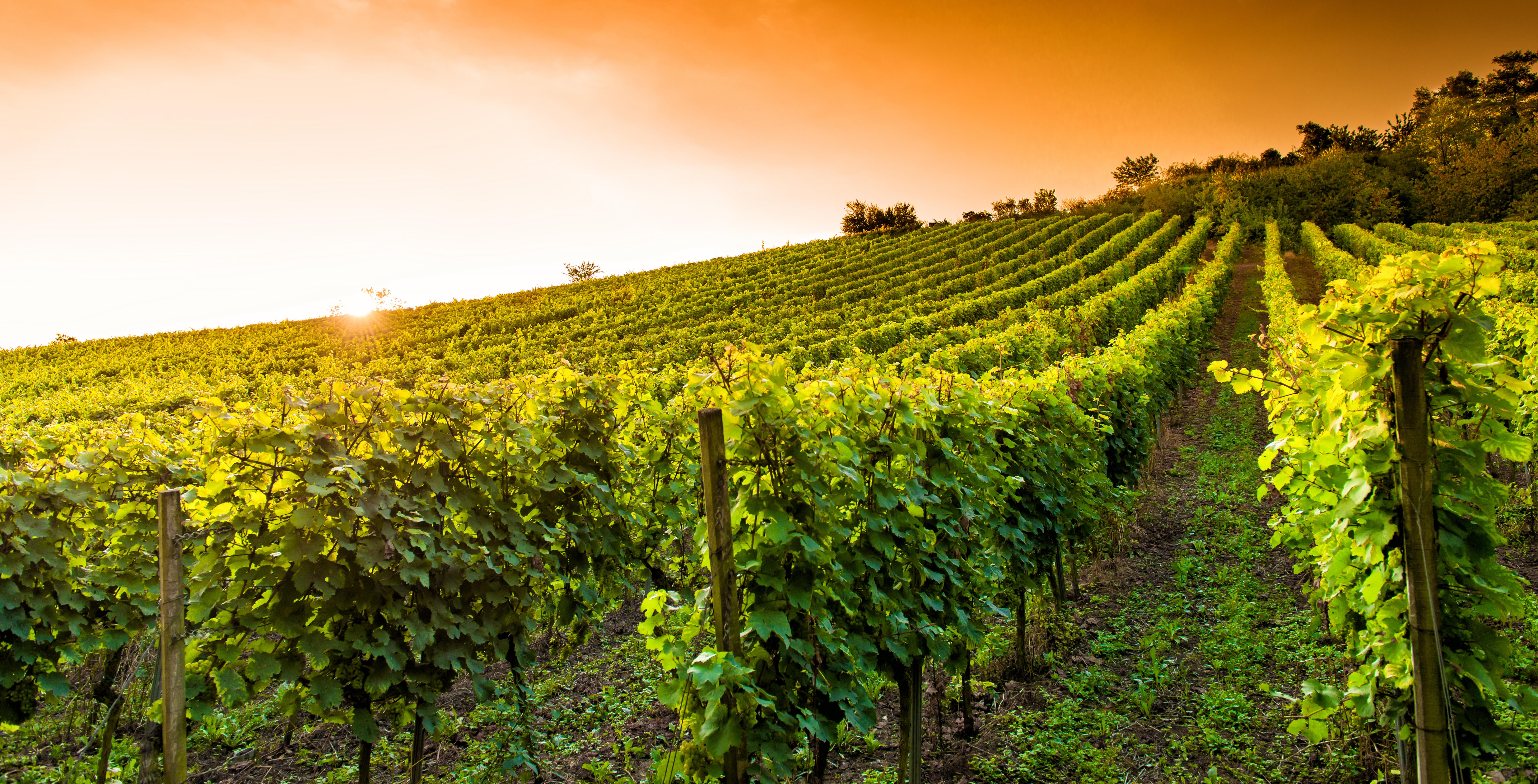 Le vin de bourgogne, un vin soigné