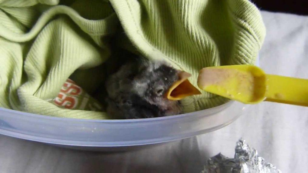 Comment nourrir un oisillon - Oisillon tombe du nid ...